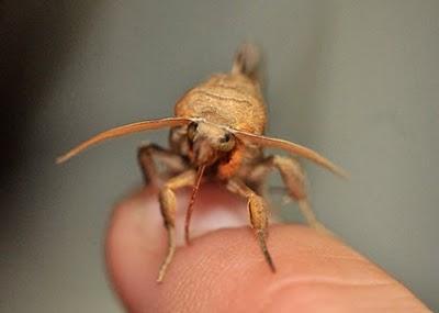 如果你看到這隻蛾在你身上的話...請放下所有東西然後趕快逃命吧!