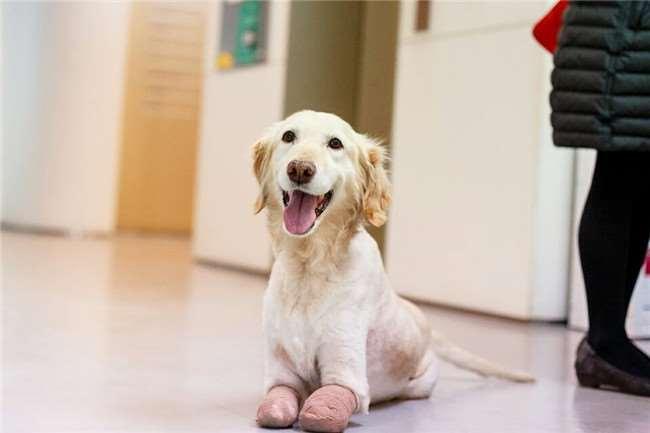 這隻狗狗被倒掛超久為了要讓肉質鮮甜最後導致4肢壞死,但看到他現在的模樣會讓你忍不住大微笑!