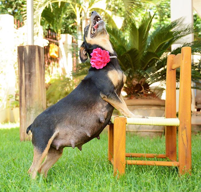 dog-maternity-photo-shoot-lilica-ana-paula-grillo-21
