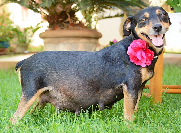 dog-maternity-photo-shoot-lilica-ana-paula-grillo-14