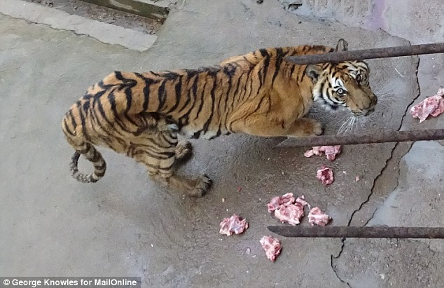 Starving: This emaciated creature is one of thousands of tigers being bred on overcrowded 'farms' in China, which open their doors to the public as tourist attractions. Unsurprisingly, they are not popular