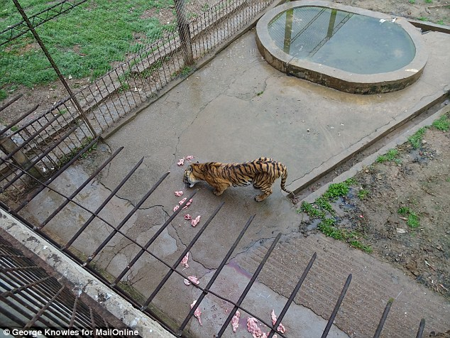 Protection: The Chinese government claims farms like these are actually good for the tiger population, as it prevents poachers killing them in the wild - something which conservation groups strongly disagree with