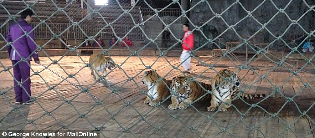 Cruel: This is despite the fact breeding tigers for their parts is illegal. A MailOnline investigation reveals the full horror of what goes - where starving animals fight over scraps of food in rusted cages