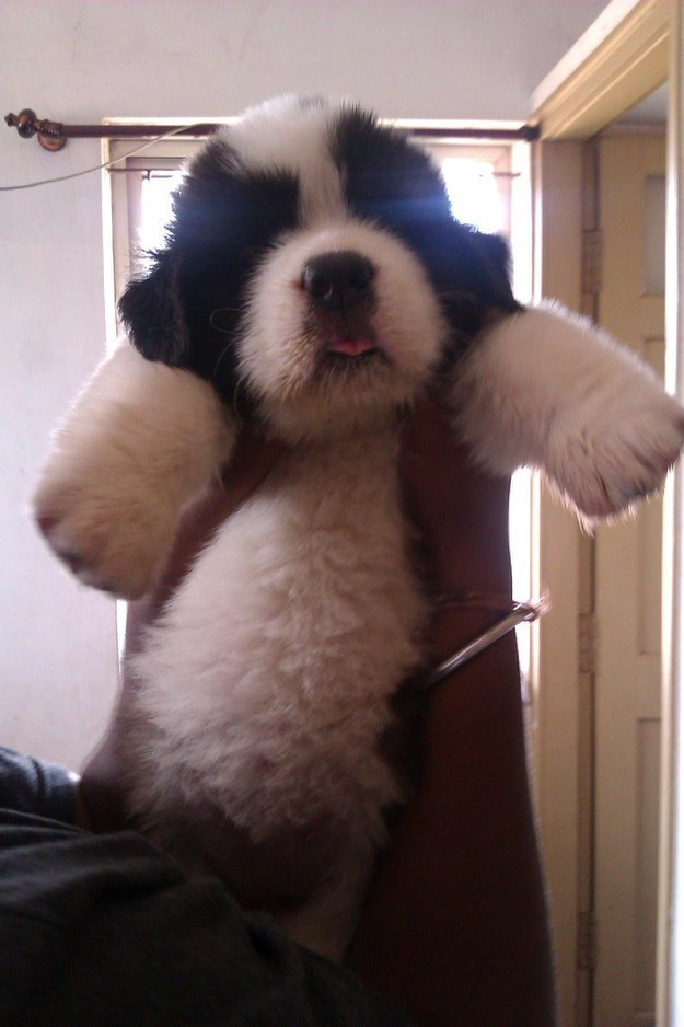 This pup who looks more like a panda cub than a puppy.