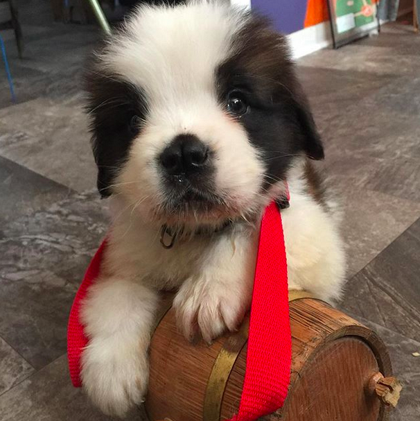 THIS BABY WHO IS SMALLER THAN THE CLASSIC SAINT BERNARD BARREL THINGY.