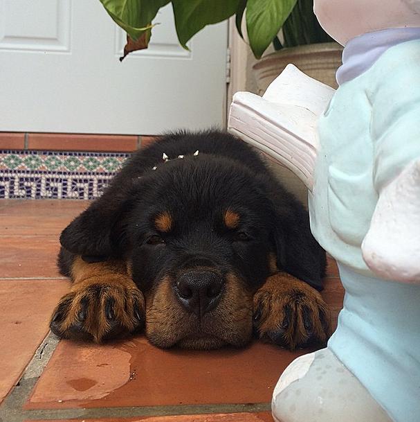 This angelic, sleepy rottweiler pup.
