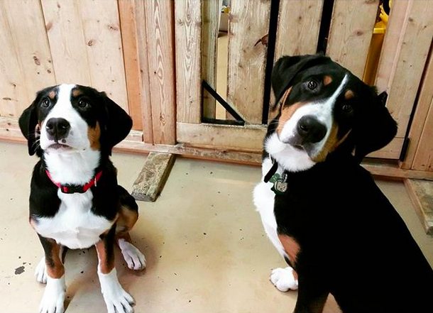These adorably well-behaved Swissies.