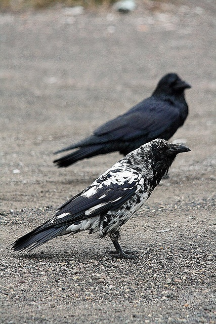 And here is a piebald raven.