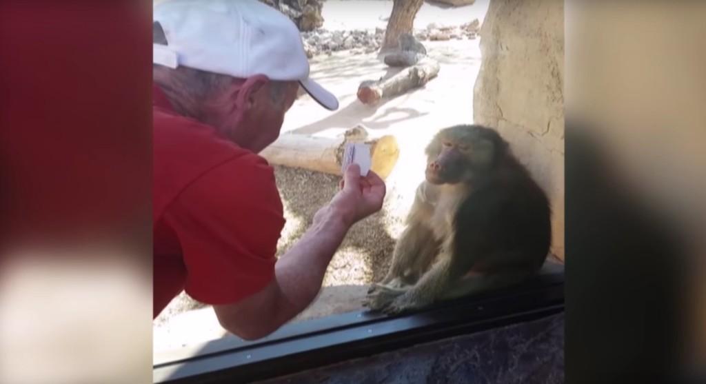 這位遊客在動物園給一隻玻璃窗前的狒狒表演紙牌魔術,看到狒狒超有戲表情會讓你發誓再也不每天吃猴腦了!