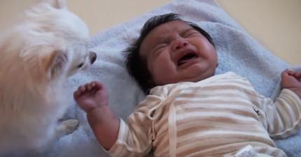 狗狗不忍心小寶寶一直哭,於是接下來做出的「超掙扎2選1」決定讓我都快哭出來了!