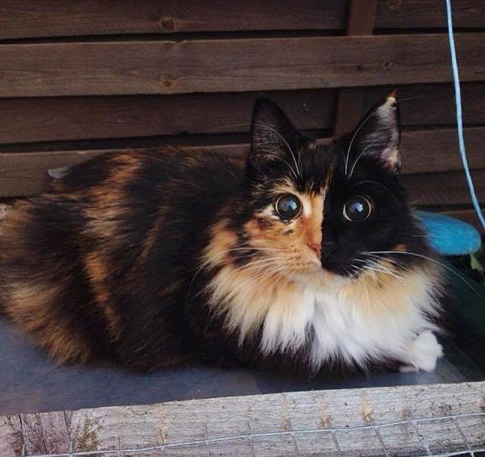 blind-cat-chimera-calico-jasmine-sandra-coudray-10
