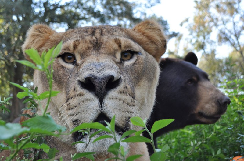 blt-bear-lion-tiger-noahs-ark-rescue-10