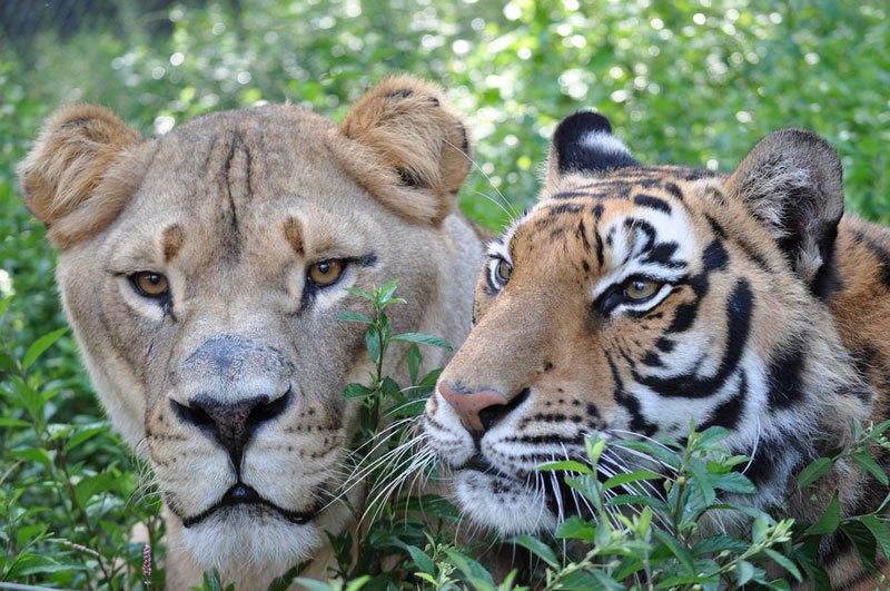 blt-bear-lion-tiger-noahs-ark-rescue-11