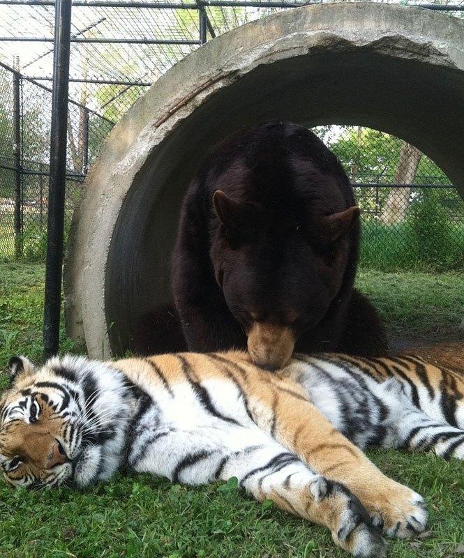 blt-bear-lion-tiger-noahs-ark-rescue-12