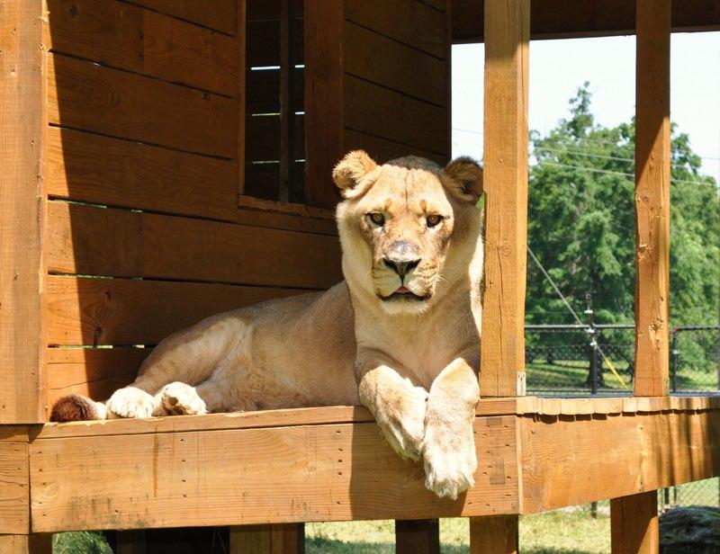 blt-bear-lion-tiger-noahs-ark-rescue-13