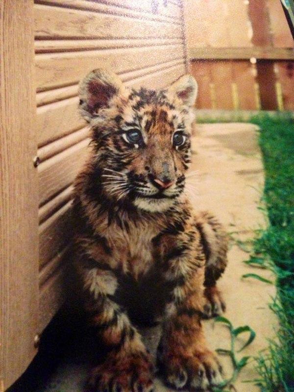 blt-bear-lion-tiger-noahs-ark-rescue-2