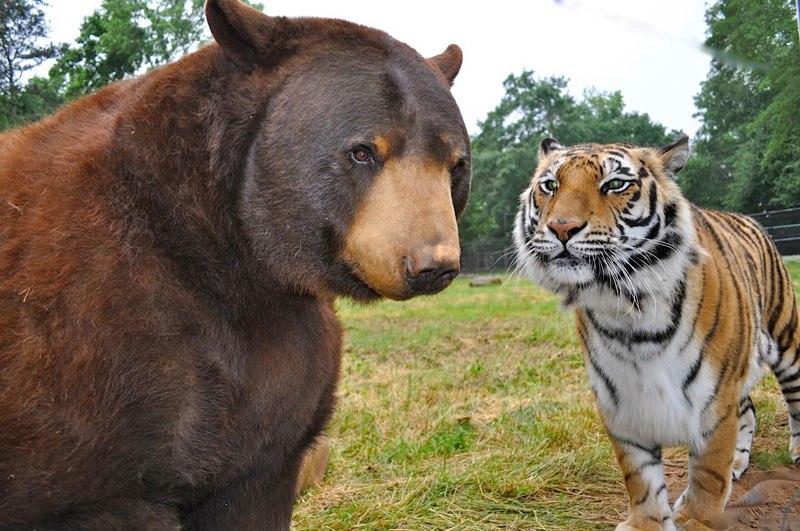 blt-bear-lion-tiger-noahs-ark-rescue-31