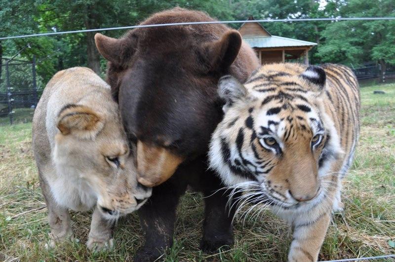 blt-bear-lion-tiger-noahs-ark-rescue-6