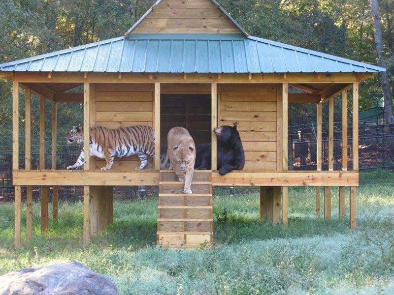 blt-bear-lion-tiger-noahs-ark-rescue-7 (1)