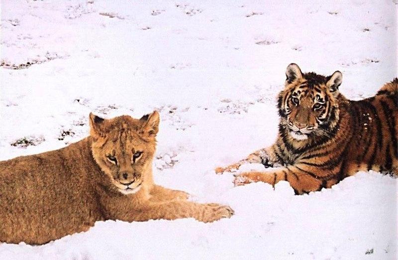 blt-bear-lion-tiger-noahs-ark-rescue-8
