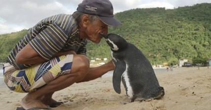 爺爺將瀕死小企鵝治療好之後放回大海,結果5年來小企鵝每年都游8000公里回去找「人類爸爸」!