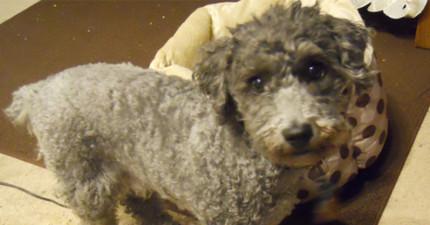 這隻聰明的狗狗在女主人憂鬱症發時送了她一樣「小禮物」,可愛到讓女主人瞬間療癒!