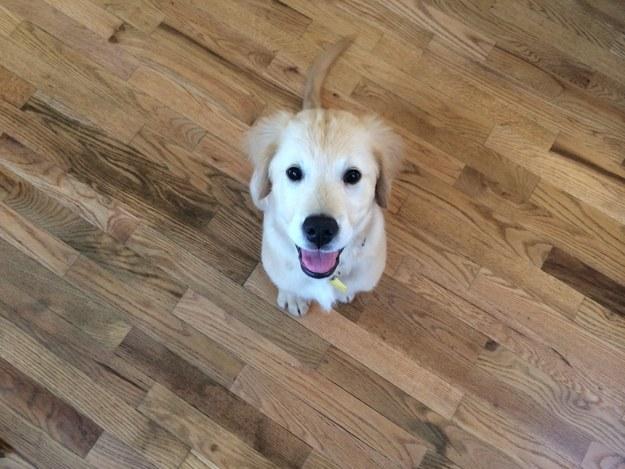 黃金獵犬寶寶因牙齒長太歪非得戴矯正牙套,矯正後張開嘴笑呆樣真的萌死人了!