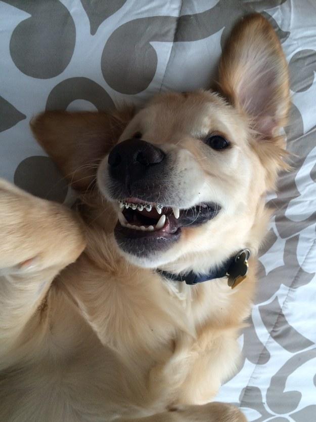黃金獵犬寶寶「牙齒長歪」只好戴牙套 矯正後「張嘴笑呆樣」真的萌翻了!