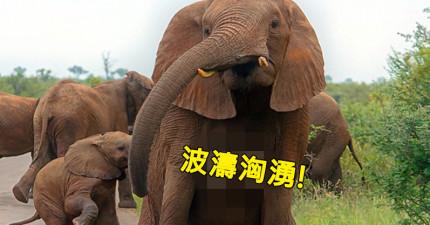 攝影師一看到這頭母象的正面就害羞到想躲起來,因為母象的「那兩粒」竟然跟人類一模一樣!