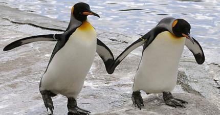 大家都期待這對公企鵝跟母企鵝繁衍,但發現「他們是同志情侶」後漢堡動物園的處理會讓你為他們鼓掌!