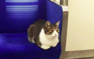連續3年都自己搭地鐵回家的列車長貓咪!看到他「不小心搭到睡著」的模樣會讓你徹底融化!