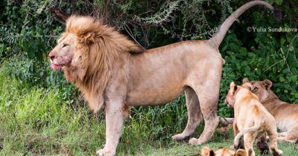 小獅子看獅王爸爸吃飽飯就跑了過去看屁屁,但下一秒的「超震撼教育」讓他嚇到秒去找媽媽哭訴了!