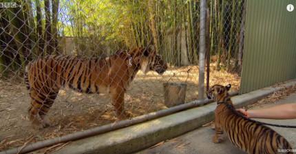這兩隻一直被隔離的小老虎終於見到經驗豐富的大老虎,一見到後他們之間的對話太驚奇了!