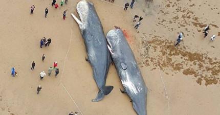 海岸驚現「13隻抹香鯨」擱淺 他剖開肚子秒怒:人類知道真相嗎?