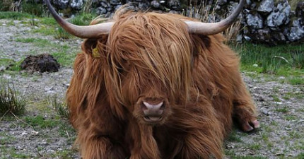 這個人吃了幾顆安眠藥後,起床後發現買了一頭氂牛。