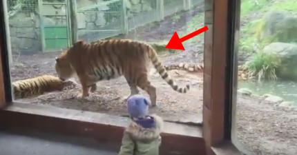 本來看這頭帥氣的老虎覺得會發生很帥氣的事情,沒想到16秒看到他對另一頭老虎做的事情才發現老虎就只是大型的混蛋貓。