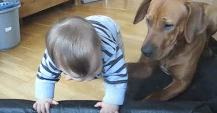 寶寶看到狗狗的床好奇想爬上去玩,狗狗發現後下一秒做的「超暖心舉動」會讓你知道狗狗比人類好太多了!