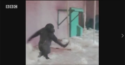 這不可能吧?這隻猩猩是真的在跳芭蕾舞?!這真的不是特效!