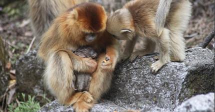 科學家原本不懂這隻母猴為何接近快生產的母猴,沒想到竟觀察到「比人類社會還溫馨」的接生現象!