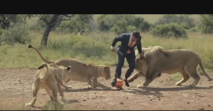 他把一顆足球踢向3頭獅子,接著最酷的事情就發生了!