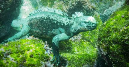 浮潛員在海底發現了這隻「真實哥吉拉」時已經很害怕,但當他開始「享受晚餐」時大家都吃驚了!