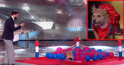 狗狗要1分鐘內爆破100顆氣球沒人要相信,但看到她怒吼咬爆氣球的「野獸模樣」會讓你再也找不到下巴!