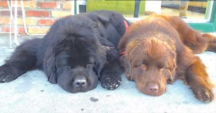 這兩隻紐芬蘭犬看起來就跟一般的狗狗差不多,不過當他們站起來的瞬間...我被嚇到從椅子上跌下來了!