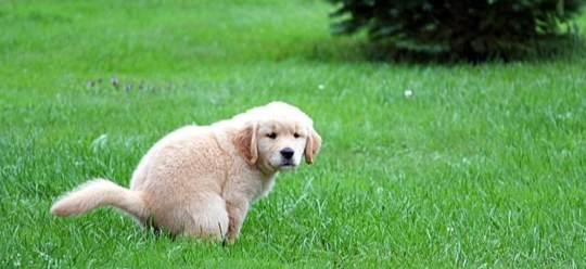 puppy-pooping-1