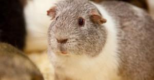 公天竺鼠偷偷越獄「爽開後宮」 100隻母鼠同時懷孕