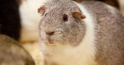 工作人員將雄雌天竺鼠分開養卻發現「100隻母鼠同時懷孕」,結果仔細看才發現雌鼠區有一隻「特別瘦」...