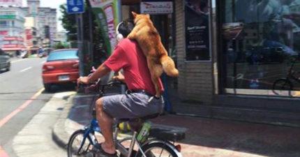 網友在路上捕獲「時尚野生柴柴圍巾」,本以為是偶然看到第二張照片時都笑瘋了!