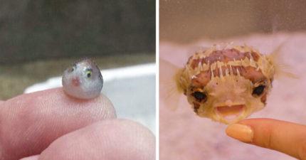 日本網友分享出萌爆了的河豚寶寶,超可愛表情萌到你以後再也不忍心被牠們毒死了!