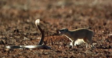 當貓鼬對上超猛的眼鏡蛇,2:25那根本就是《駭客任務》裡面的招式啊!(1210萬瀏覽次數)