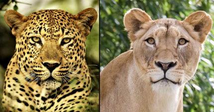 當公豹跟母獅惺惺相惜後「天雷勾動地火」,超越百獸之王的神話等級猛獸的模樣帥到不科學了啦!